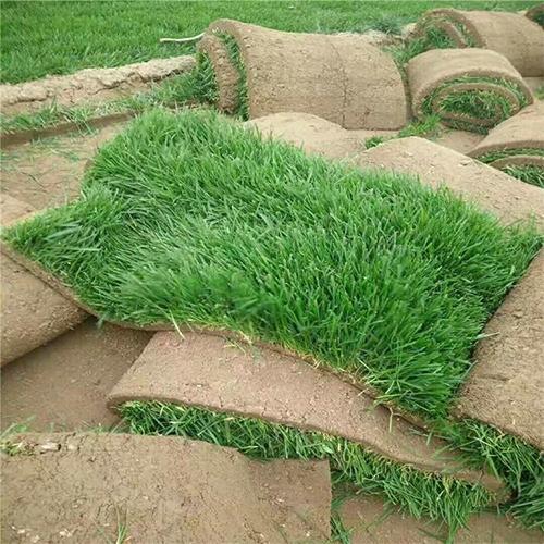 石家莊草坪